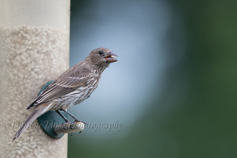 Finch eating safflower seed