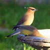 Cedar Waxwings Enjoying The Water