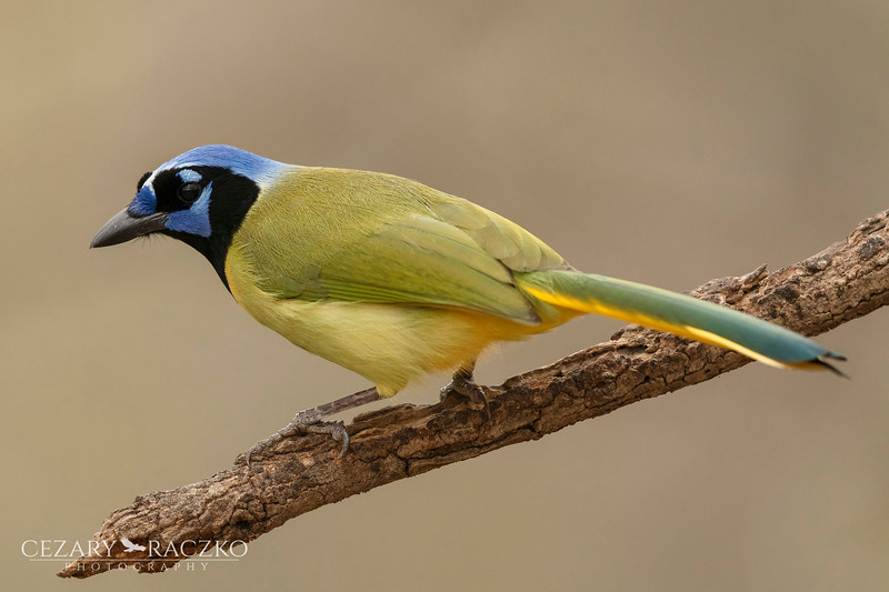 Green Jay (Cyanocorax luxuosus)