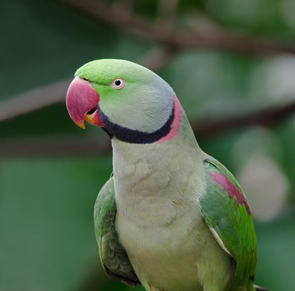Rose Ringed Parakeet. Hong Kong.
