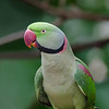 Rose Ringed Parakeet. Hong Kong.