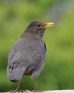 Newbury Blackbird