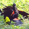Red-winged Blackbird Death Match 14