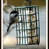 Carolina Chickadee at Suet Basket