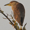 Juvenile black-crowned night heron stares at the sunset.