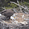 Bald Eagle and chicks