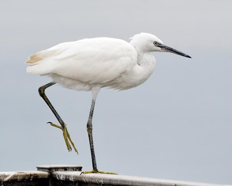 Little Egret on one leg at Farmoor