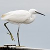 Little Egret on one leg at Farmoor
