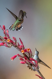 Hummingbird Encounter, Santa Fe, NM