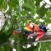 Ara macao – Scarlet macaw 4