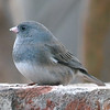 Plump Little Junco
