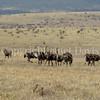 Struthio camelis-Ostriches 1