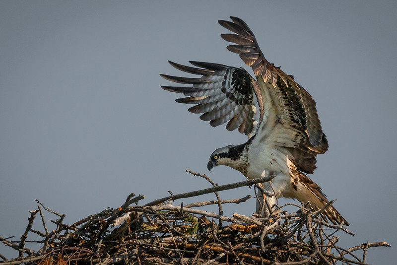 Osprey Arrival