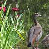 Alopochen aegyptiacus – Egyptian goose