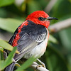 Scarlet Honeyeater,The Spit, Gold Coast, Qld.