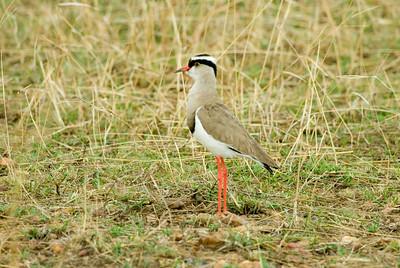 Plover, Masai Mara, Africa.