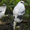 Pseudastur albicollis – White hawk