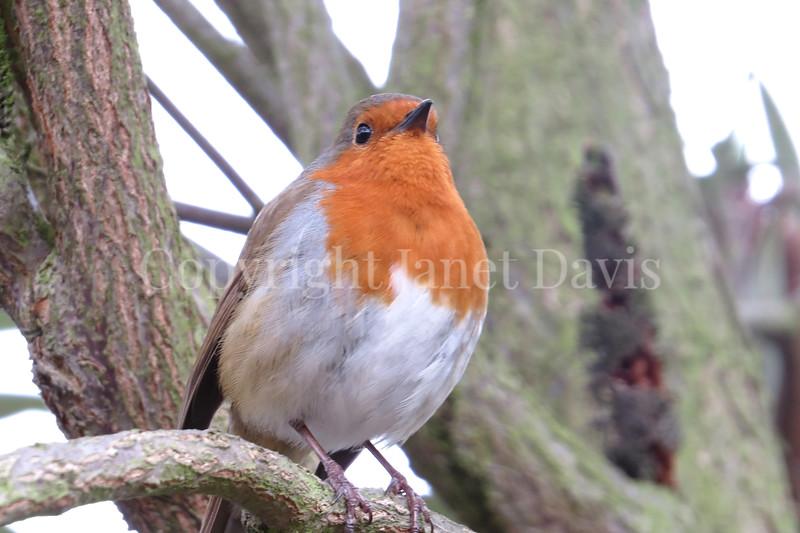 Erithacus rubecula-European robin