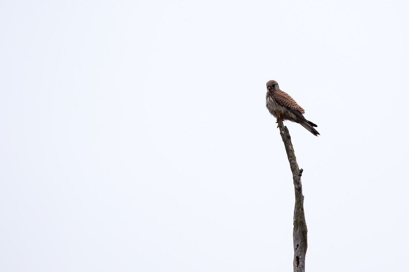 Common Kestrel / Falco tinnunculus / Torenvalk