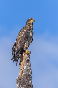 Bald eagle (immature adult)