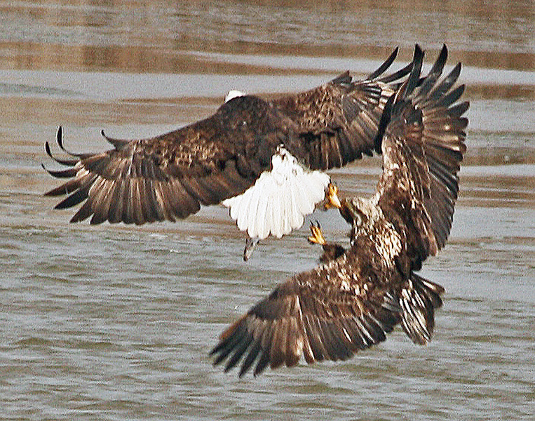 YOUNG EAGLE SPARING WITH A MATURE AMERICAN BALD EAGLE.