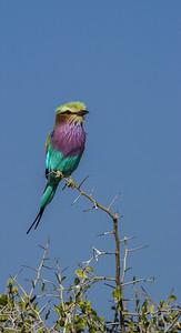 National Bird of Botswana