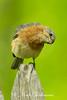 Inquisitive Bluebird
