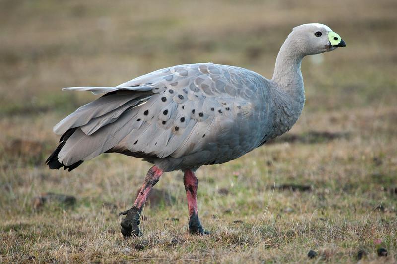 Cape Barron Goose