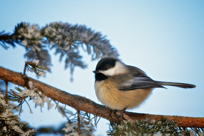 The Black Capped Chickadee is one of my mom's favourite birds.  Here's one all fluffed up for you mom :) Happy Mother's Day!