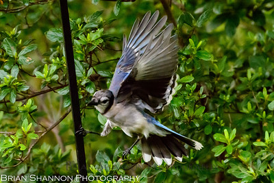 Blue Jay crashes the party