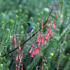 Cinnyris chalybeus-Lesser double collared sunbird 1