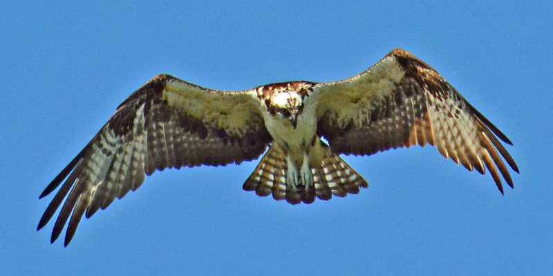 Osprey in flight looking for fish in the Intercoastal Waterway.