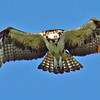 Osprey in flight looking for fish in the Intercoastal Waterway.