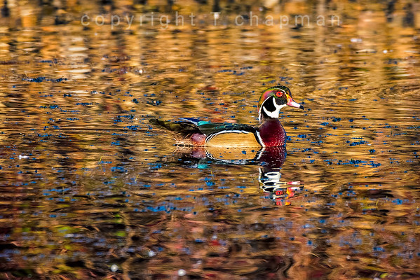 Woodduck on Golden Pond