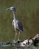 Juvenile Great Blue Heron.  (Ardea herodias).  Near Shoveler Pond, Anahuac National Wildlife Refuge, Texas