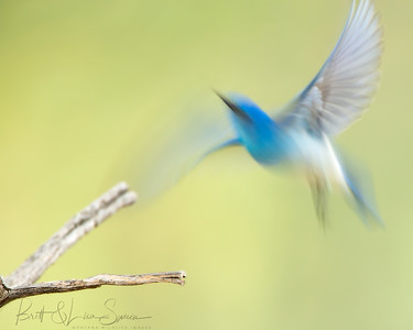 Male Mountain Bluebird Motion Blur