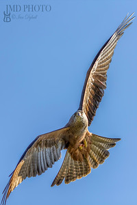 Red kite bird of prey close up