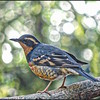 Varied Thrush (male)—Ixoreus naevius