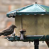First Time I've Had A Red-winged Blackbird At My Feeder