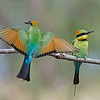 2 Rainbow Bee-eaters, The Spit, Gold Coast. Qld.