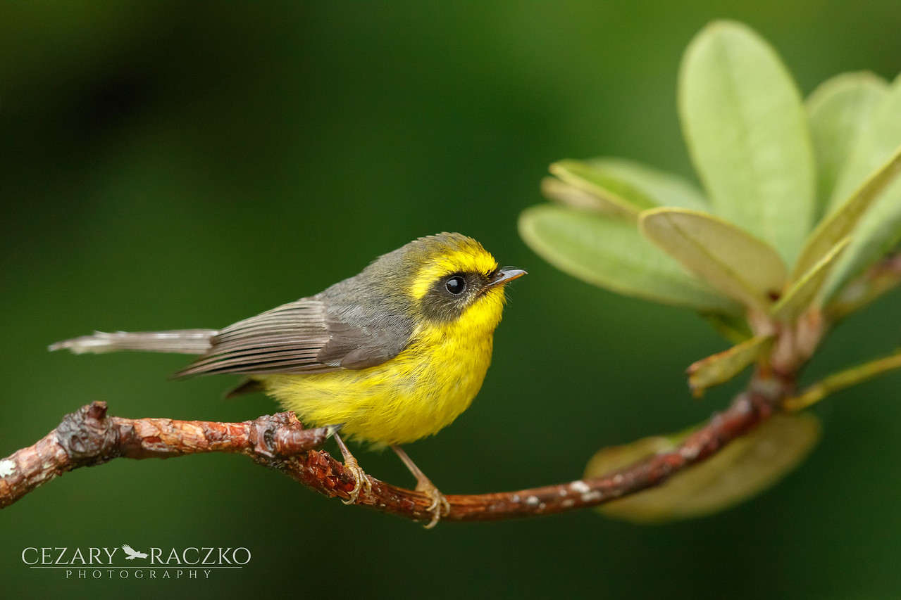 Yellow-bellied Fantail (Chelidorhynx hypoxanthus)