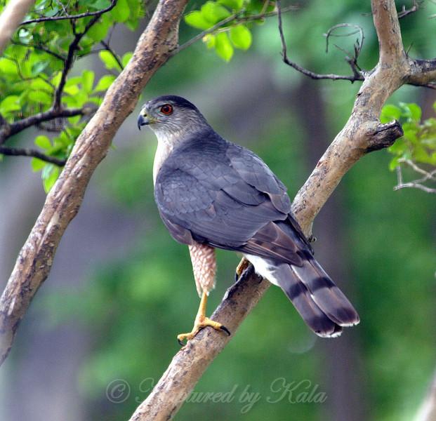 Beautiful Male Cooper's Hawk