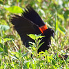 Red-winged Blackbird Death Match 20