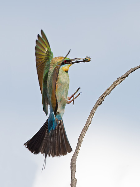 Rainbow Bee-eater Landing with a Cicada, Federation Walk, Gold Coast, Queensland.