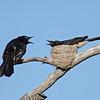 Male & Female Willi Wagtails at Nest. Federation Walk. Gold Coast. Qld.