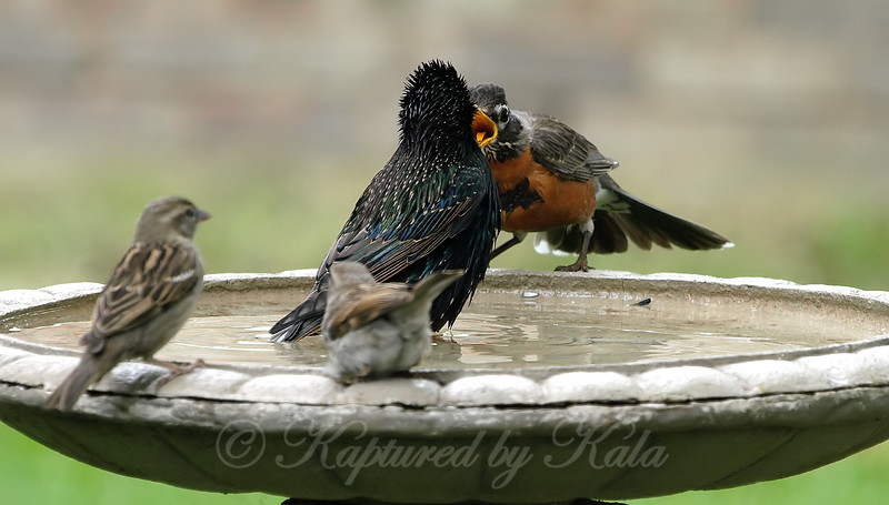 I Said Get Out Of My Birdbath!