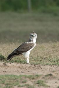 Marshall Eagle, Nikuru, Africa.