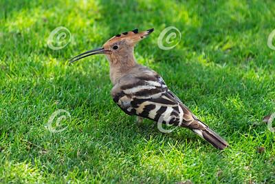 Hoopoe Duchifat Bird on a Lawn