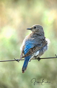 Female Western Mountain Bluebird