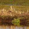 Watersnip; Snipe; Gallinago gallinago (Waterhoen linksachter; Moorhen in background)